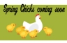 spring-chicks-coming-soon